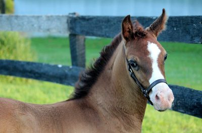 Foal Contest
