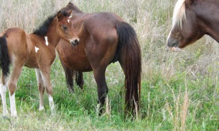 21 Stallions & 57 Mares on Assteague Island